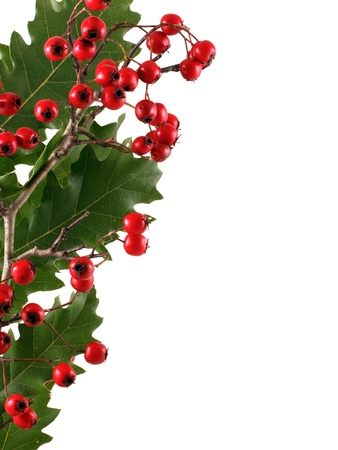 decs: Oak branch with red berries, isolated on white Stock Photo
