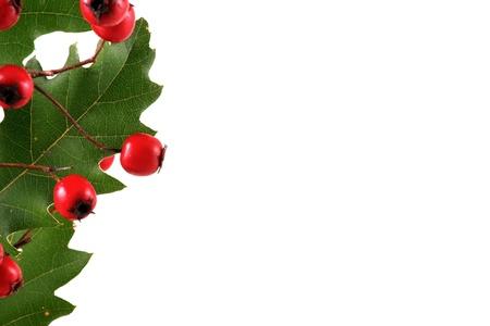 letras musica: Rama de roble con frutos rojos, aislados en blanco Foto de archivo