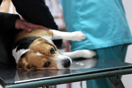 Dog at the vet in the surgery preparation room. Stock Photo - 12575354