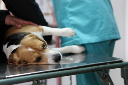Dog at the vet in the surgery preparation room. Stock Photo