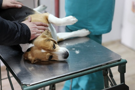 Dog at the vet in the surgery preparation room. photo