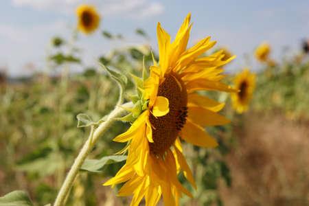 typefaces: sunflower.