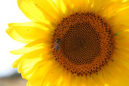 stock photos: sunflower.