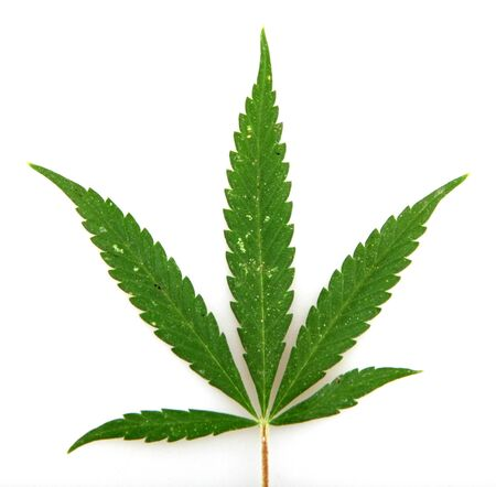 Cannabis. Stock Photo - 14897543