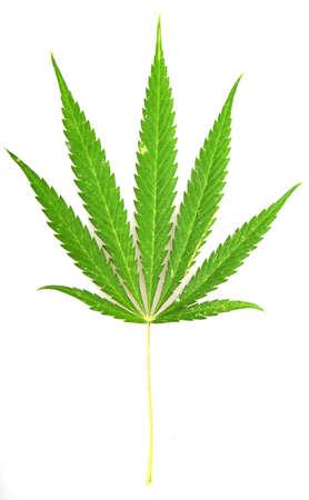 Cannabis. Stock Photo - 14897539