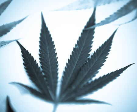 Marijuana. Stock Photo - 15209665