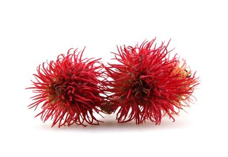 Red beans: hoa cây thầu dầu trên nền trắng. Kho ảnh