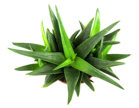 aloe vera plant isolated on white. Stock Photo - 17042732