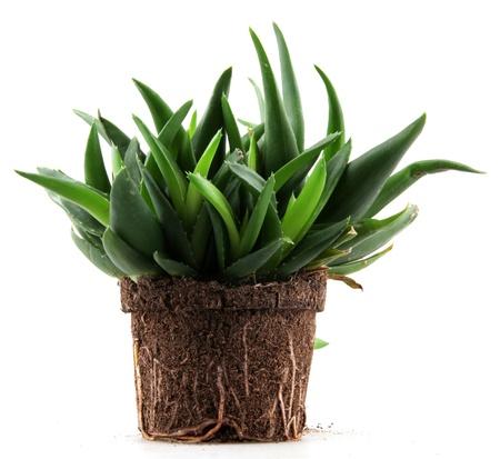 Aloe Vera Leaves. photo
