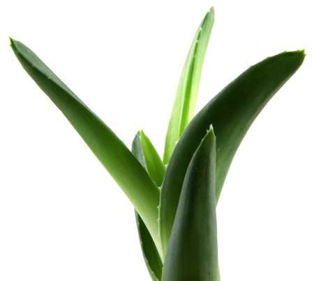 Aloe Vera Leaves. photo