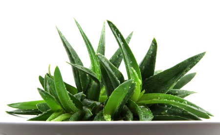 Aloe vera isol� sur blanc. photo
