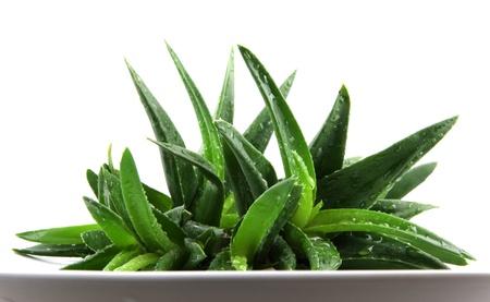aloe vera background: Aloe vera plant isolated on white. Stock Photo