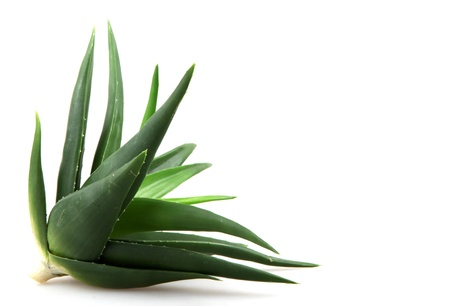 Aloe vera plant isolated on white. Stock Photo