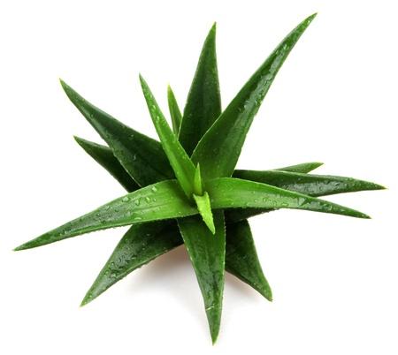 medical  plant: Planta de Aloe vera aislado en blanco. Foto de archivo