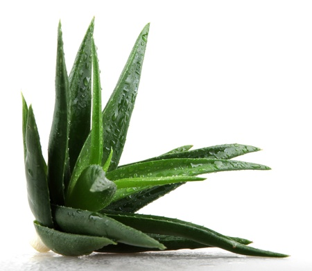 Aloe vera plant isolated on white. 免版税图像 - 17944888
