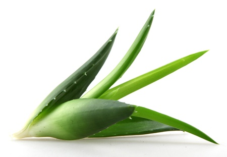 Aloe vera plant isolated on white. Stock Photo - 17944889