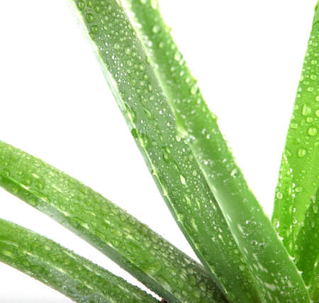 Aloe vera plant isolated on white. photo