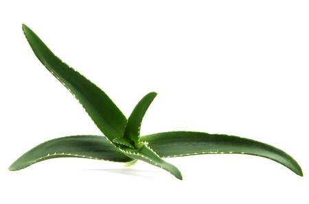 loe: aloe vera leaves Stock Photo