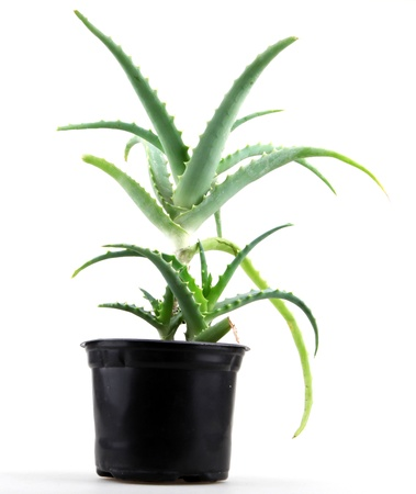 overlightened: picture of aloe vera leaves detailed. Stock Photo