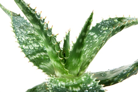 loe: picture of aloe vera leaves detailed. Stock Photo
