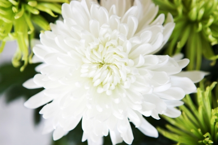 stock photo   tulip: flowers