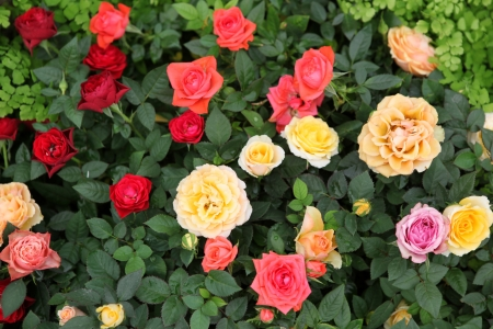 Roses photo