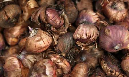 stock photo   tulip: Picture of tulip bulb Stock Photo