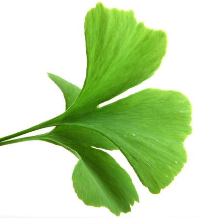 green ginkgo biloba leaves isolated on white background Stock Photo