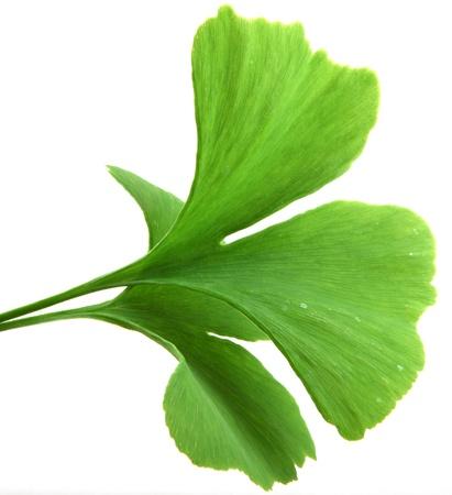 green ginkgo biloba leaves isolated on white background Stockfoto