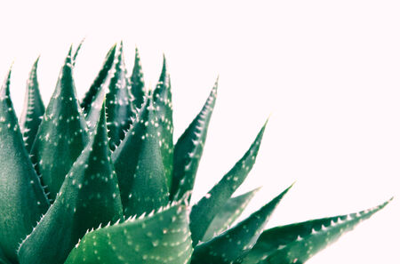 overlightened: Aloe vera plant isolated on white background