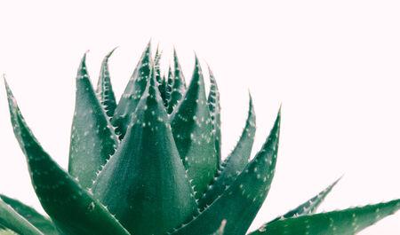 loe: Aloe vera plant isolated on white background