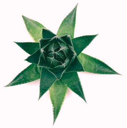 overlightened: Aloe vera plant isolated on white background