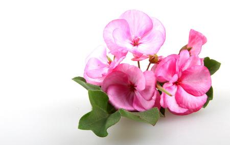 Geranium Pelargonium Flowers photo