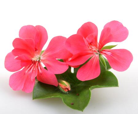 pelargonium: Geranium Pelargonium