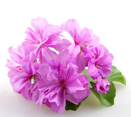 geranium color: Geranium Pelargonium