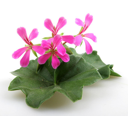 geranium color: Geranium Flowers