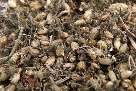 milfoil: Achillea millefolium