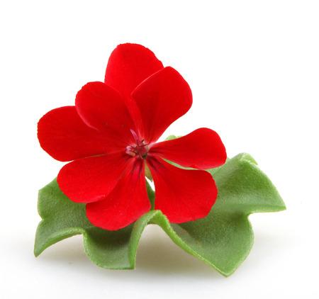 geranium color: Pelargonium Flower Stock Photo