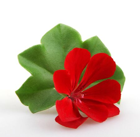 pelargonium: Pelargonium Flower Stock Photo