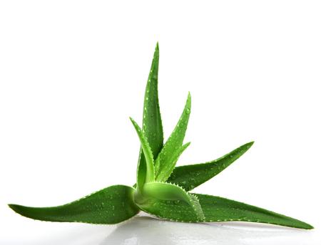 plant medicine: Aloe vera plant isolated on white. Stock Photo
