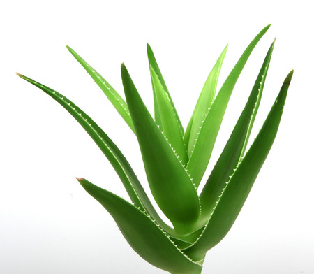 aloe vera flowers: Aloe vera plant isolated on white. Stock Photo