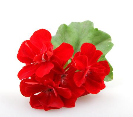 Geranium Pelargonium Blumen.