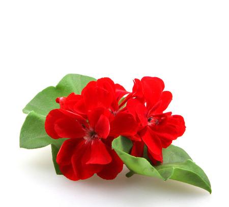 Geranium Pelargonium Flowers. Stockfoto