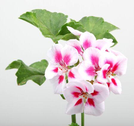 geranium color: Geranium Pelargonium Flowers. Stock Photo