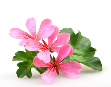 Geranium Flowers Stock Photo - 79080494