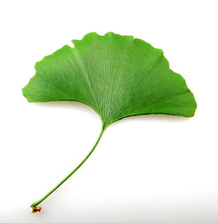 Fresh ginkgo biloba leaf on a white background