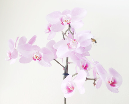 Close-Up Of Pink Orchids Against White Background Stock Photo