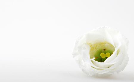 White rose isolated on white background Stock Photo