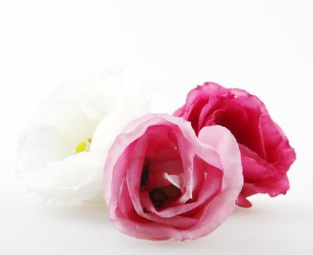 Rose close up, isolated on white background Stock Photo