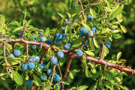 Fresh organic blueberries grown in an ecologically clean area.